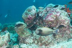 BD-150424-Maldives-8054-Acanthurus-nigricauda.-Duncker---Mohr.-1929-[Epaulette-surgeonfish].jpg